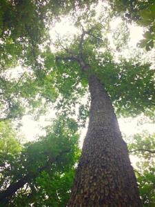 Weldon-Woods_tree
